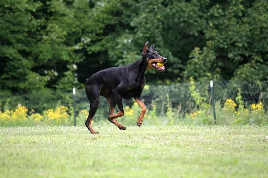 Carmeta French's Doberman