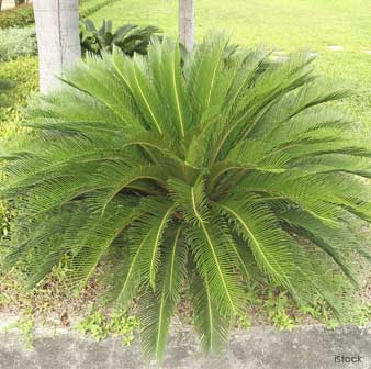 Sago Palm Photo